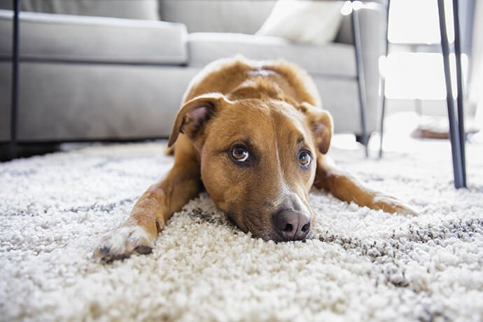 pet urine stain and odor removal in san francisco